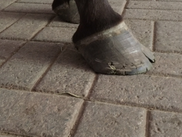 Horse Hoof in need of Trim